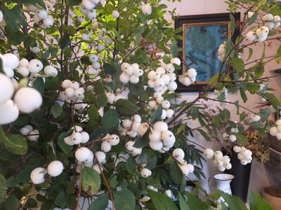 オークリーフ(白いねむの木)_f0049672_1744877.jpg