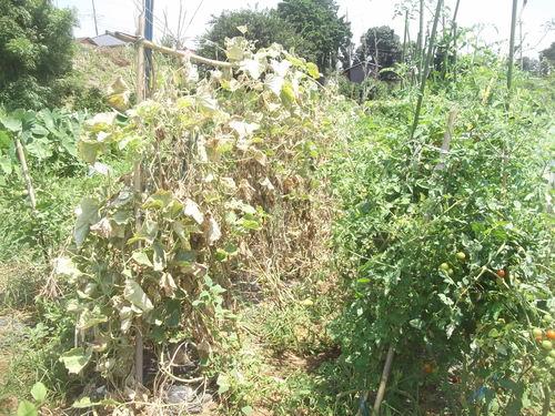 野菜の収穫_b0137932_18582228.jpg