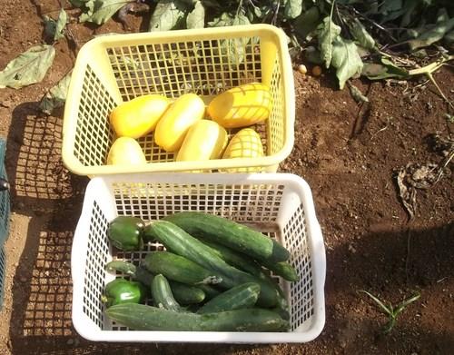 野菜の収穫_b0137932_18591599.jpg