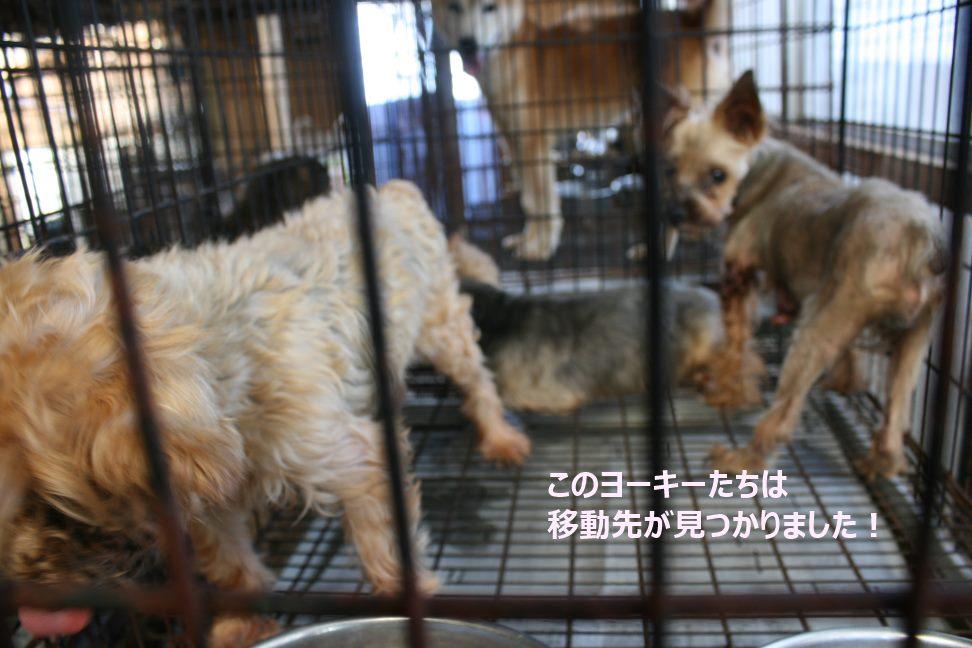 ブリーダー放棄の柴犬とラブたち(8/20)_f0242002_23184493.jpg
