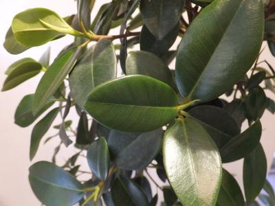 オークリーフ(フランスゴムの木)_f0049672_1529994.jpg