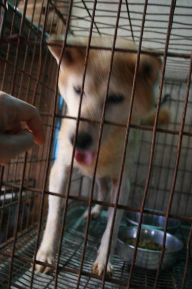 ブリーダー放棄の柴犬とラブたち(8/20)_f0242002_122043.jpg