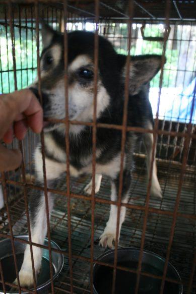 ブリーダー放棄の柴犬とラブたち(8/20)_f0242002_126061.jpg