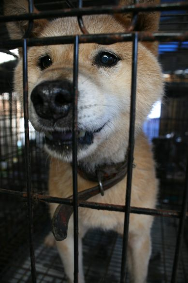 ブリーダー放棄の柴犬とラブたち(8/20)_f0242002_1263923.jpg