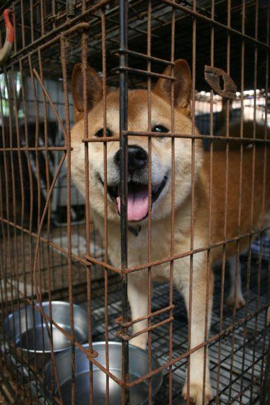 ブリーダー放棄の柴犬とラブたち(8/20)_f0242002_1271539.jpg