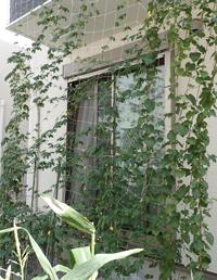 ゴーヤーのカーテンが茂ってきました_f0108133_004188.jpg