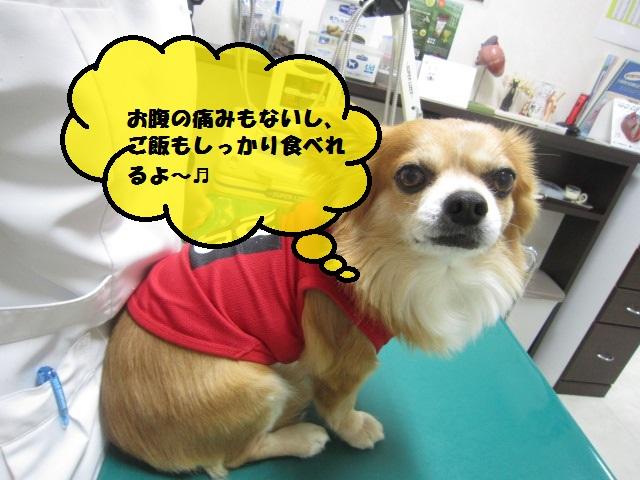 【急性肝炎、慢性膵炎のチワワ】_b0059154_11373817.jpg