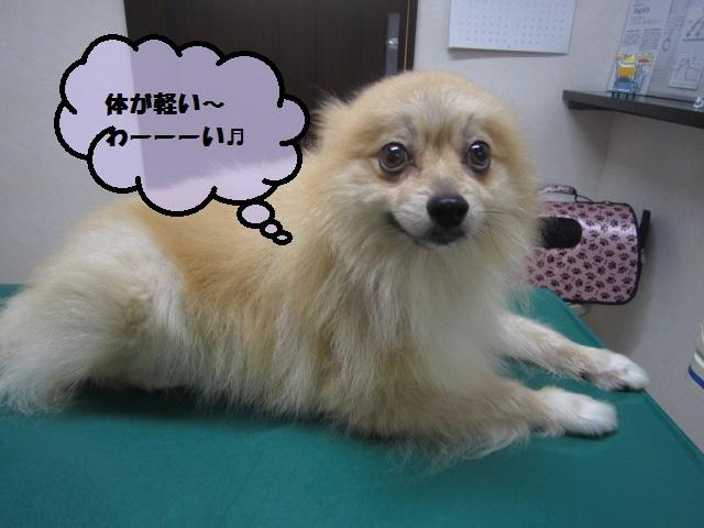【腹水がたまった ポメラニアン(7.4㎏→6.7㎏に】_b0059154_11585889.jpg
