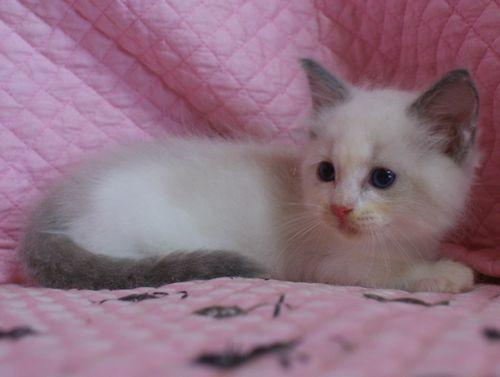 ラグドール子猫 ブルーポイントバイカラー ミテッド男の子 6/22生まれ  家族募集_e0033609_22212392.jpg