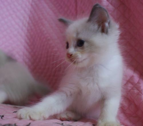 ラグドール子猫 ブルーポイントバイカラー ミテッド男の子 6/22生まれ  家族募集_e0033609_22214285.jpg