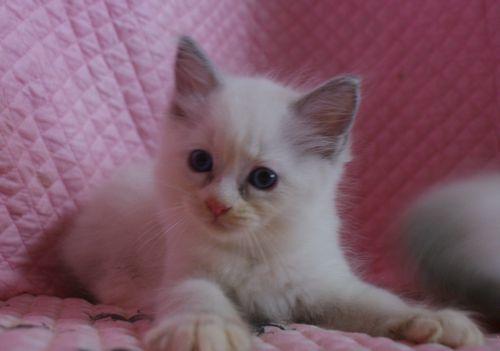 ラグドール子猫 ブルーポイントバイカラー ミテッド男の子 6/22生まれ  家族募集_e0033609_22220456.jpg