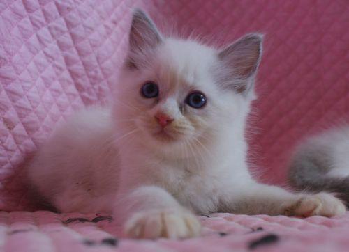 ラグドール子猫 ブルーポイントバイカラー ミテッド男の子 6/22生まれ  家族募集_e0033609_22221770.jpg