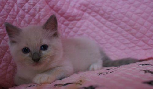 ラグドール子猫 ブルーポイントバイカラー ミテッド男の子 6/22生まれ  家族募集_e0033609_22224868.jpg