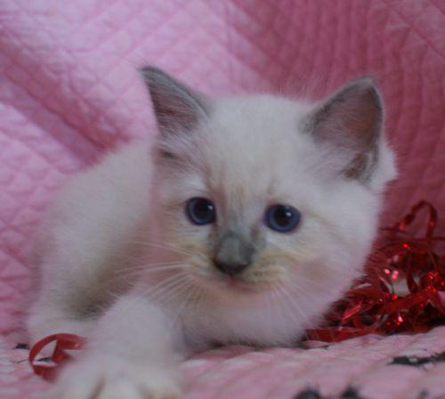 ラグドール子猫 ブルーポイントバイカラー ミテッド男の子 6/22生まれ  家族募集_e0033609_22230738.jpg