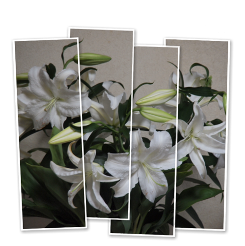 カサブランカも咲く時を知る?_c0026824_17265825.png