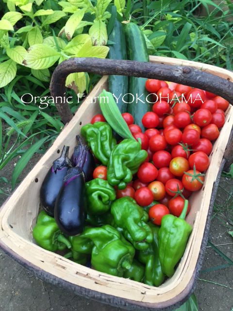 Organic Farm Yokohama ☆ 畑に行ってきました! _b0138802_12354564.jpg