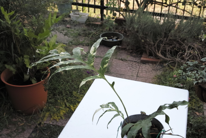 Drynaria sparcisora \'Variegatus\'_a0194582_16123828.jpg