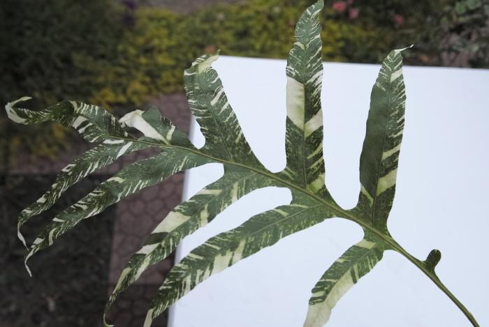 Drynaria sparcisora \'Variegatus\'_a0194582_16123833.jpg