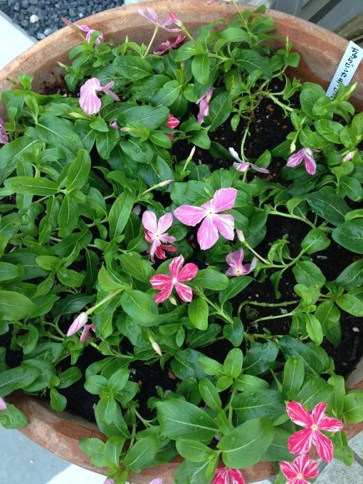 0808  花壇のお花交換諸々_b0167282_12241245.jpg