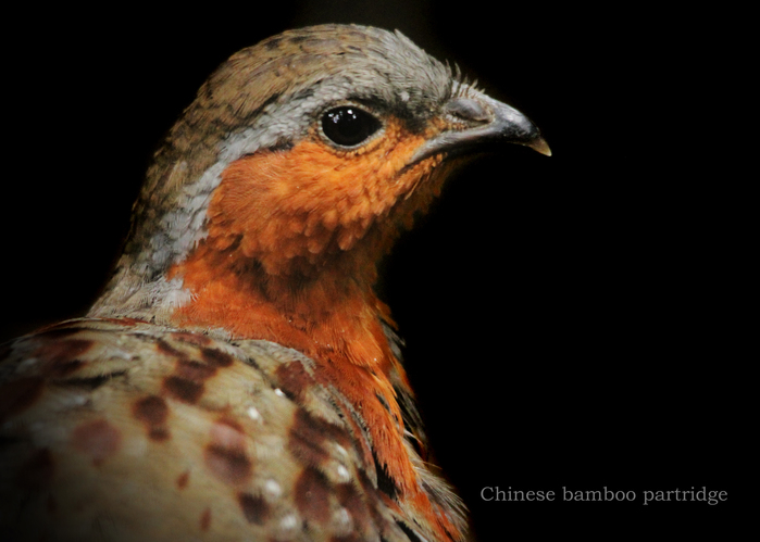 コジュケイ:Chinese bamboo partridge_b0249597_10114093.jpg