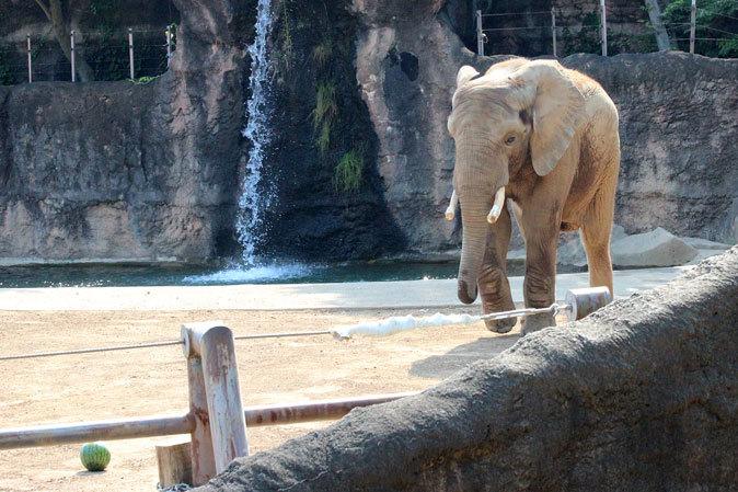 サマーナイト@Tama Zoo~アフリカゾウ「冷やしスイカはじめました」 二投目_b0355317_10340438.jpg