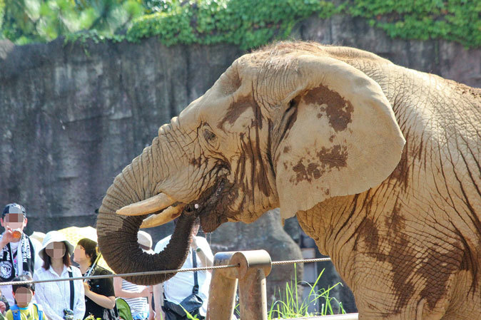 サマーナイト@Tama Zoo~アフリカゾウ「冷やしスイカはじめました」 二投目_b0355317_10404446.jpg
