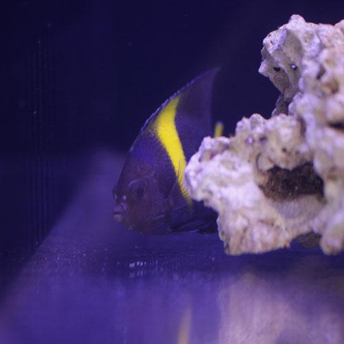 入荷情報~海水魚~_d0221436_20505621.jpg