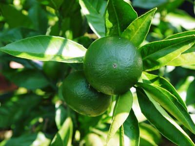 ザ・みかん 美味しく甘く育てるための匠の摘果作業 その2(十分な水を与え摘果で美味しく育てます)_a0254656_1817459.jpg