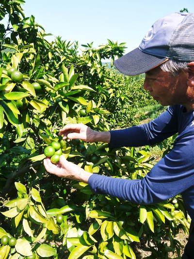ザ・みかん 美味しく甘く育てるための匠の摘果作業 その2(十分な水を与え摘果で美味しく育てます)_a0254656_18314952.jpg