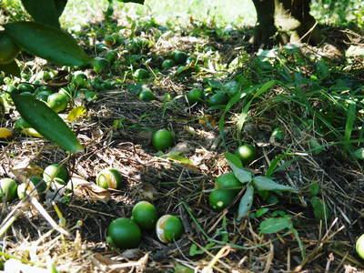 ザ・みかん 美味しく甘く育てるための匠の摘果作業 その2(十分な水を与え摘果で美味しく育てます)_a0254656_18523972.jpg