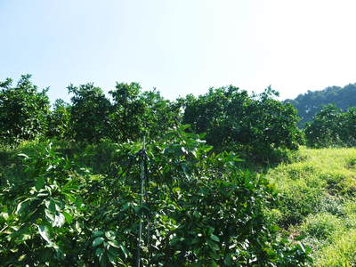 ザ・みかん 美味しく甘く育てるための匠の摘果作業 その2(十分な水を与え摘果で美味しく育てます)_a0254656_19162886.jpg