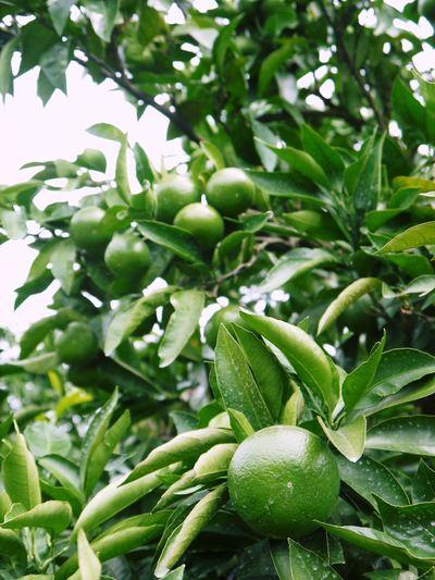 ザ・みかん 美味しく甘く育てるための匠の摘果作業 その2(十分な水を与え摘果で美味しく育てます)_a0254656_19213971.jpg