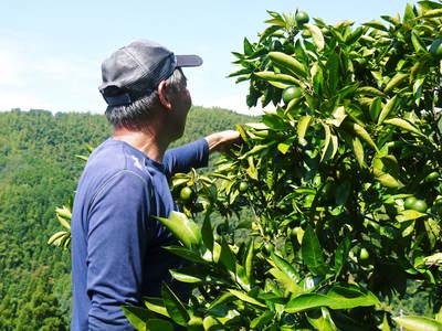 ザ・みかん 美味しく甘く育てるための匠の摘果作業 その2(十分な水を与え摘果で美味しく育てます)_a0254656_19274172.jpg