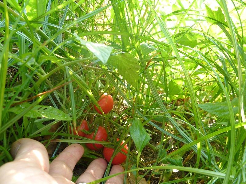 野育ちのトマト?大豊作(^O^)/_c0165589_15553251.jpg