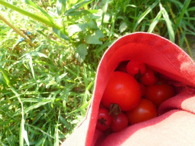 野育ちのトマト?大豊作(^O^)/_c0165589_1651425.jpg