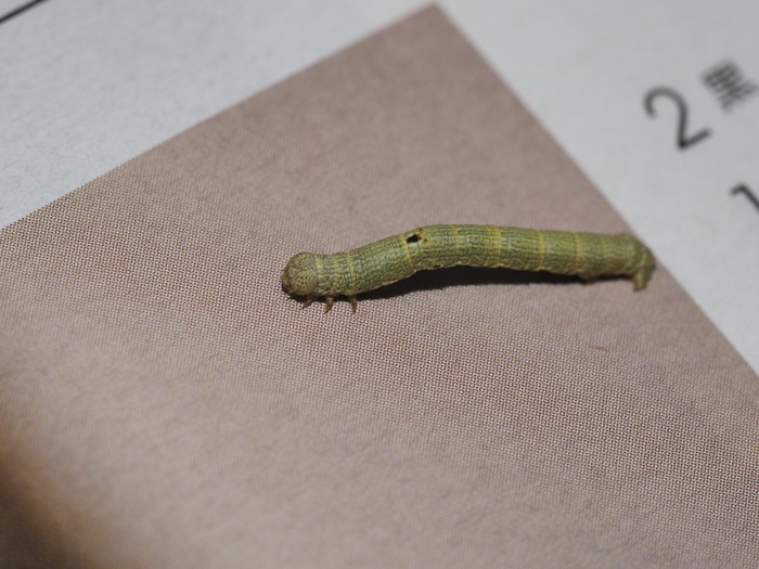 ヨモギエダシャクの幼虫_c0116915_028288.jpg