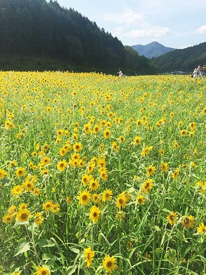 2016.08.13 たんとう花公園 ひまわり畑_c0016718_1512109.jpg
