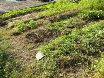 コツコツ草刈り・・・カツボの餌食に_c0330749_13042675.jpg