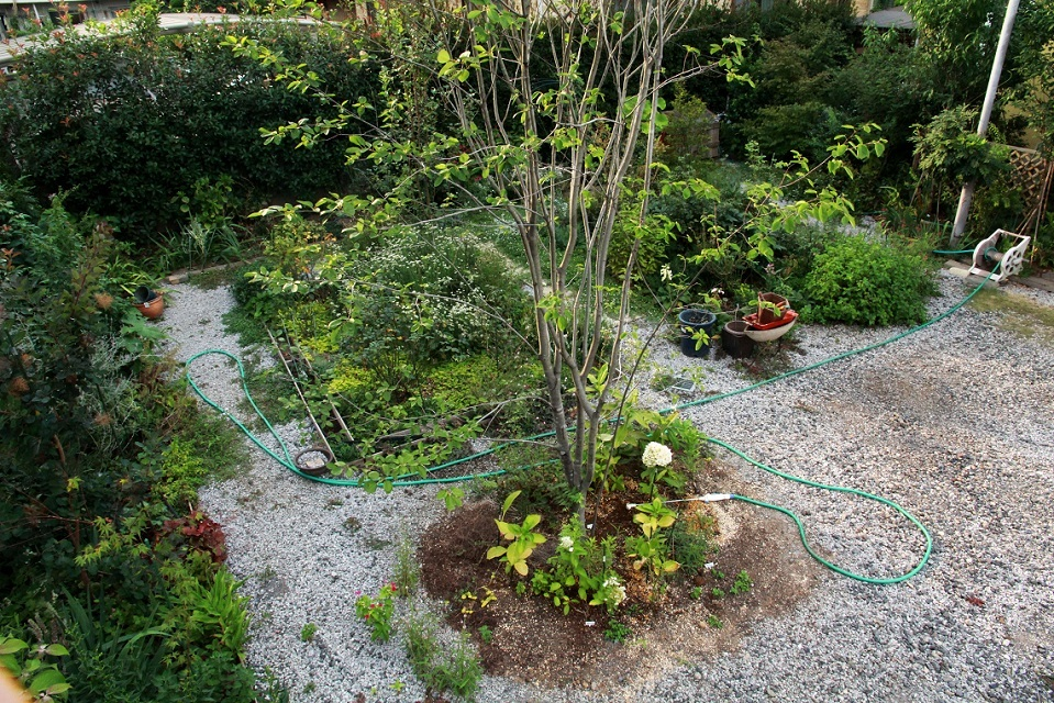 ミニ薔薇園はボウボウ                 ~ジューンベリー、ヒメイワダレソウ、リシマキア~_a0107574_17453739.jpg