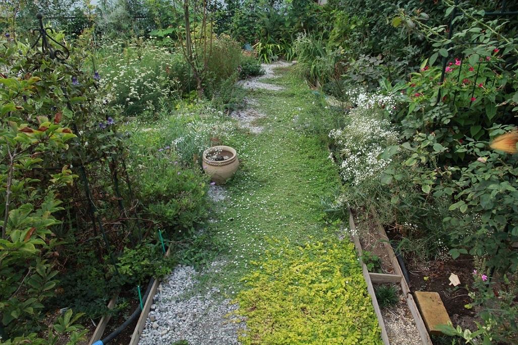 ミニ薔薇園はボウボウ                 ~ジューンベリー、ヒメイワダレソウ、リシマキア~_a0107574_18002473.jpg