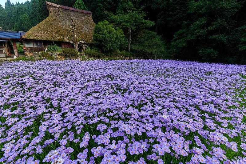 北山友禅菊が綺麗で美しい花畑