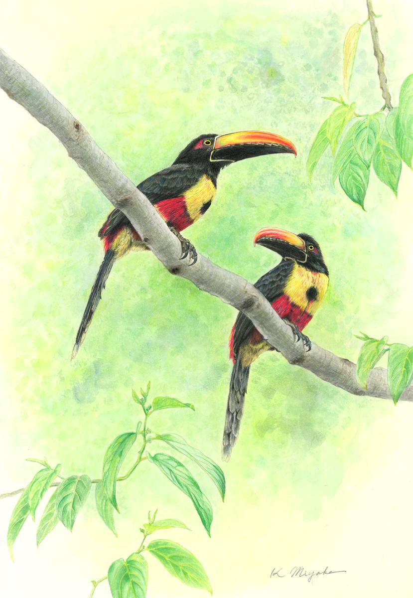 色鉛筆で描いた野鳥画  アカハシムナフチュウハシ Fiery-billed Aracari _d0013455_1892091.jpg