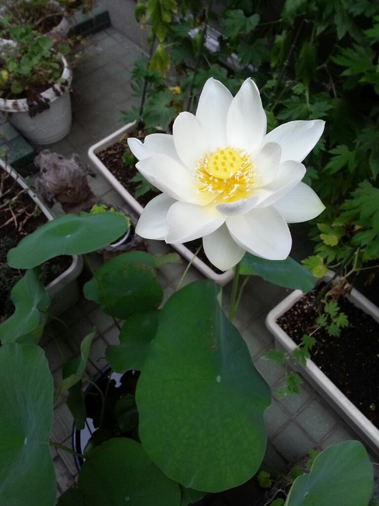 咲きました♪_b0119113_15283559.jpg