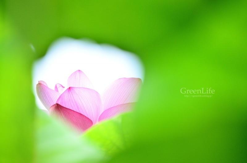 透ける花びら_f0321522_21200498.jpg