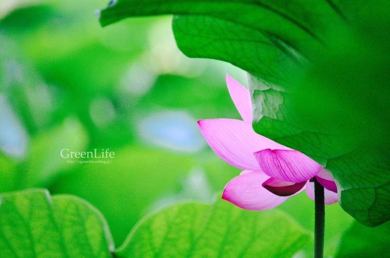 透ける花びら_f0321522_21201189.jpg