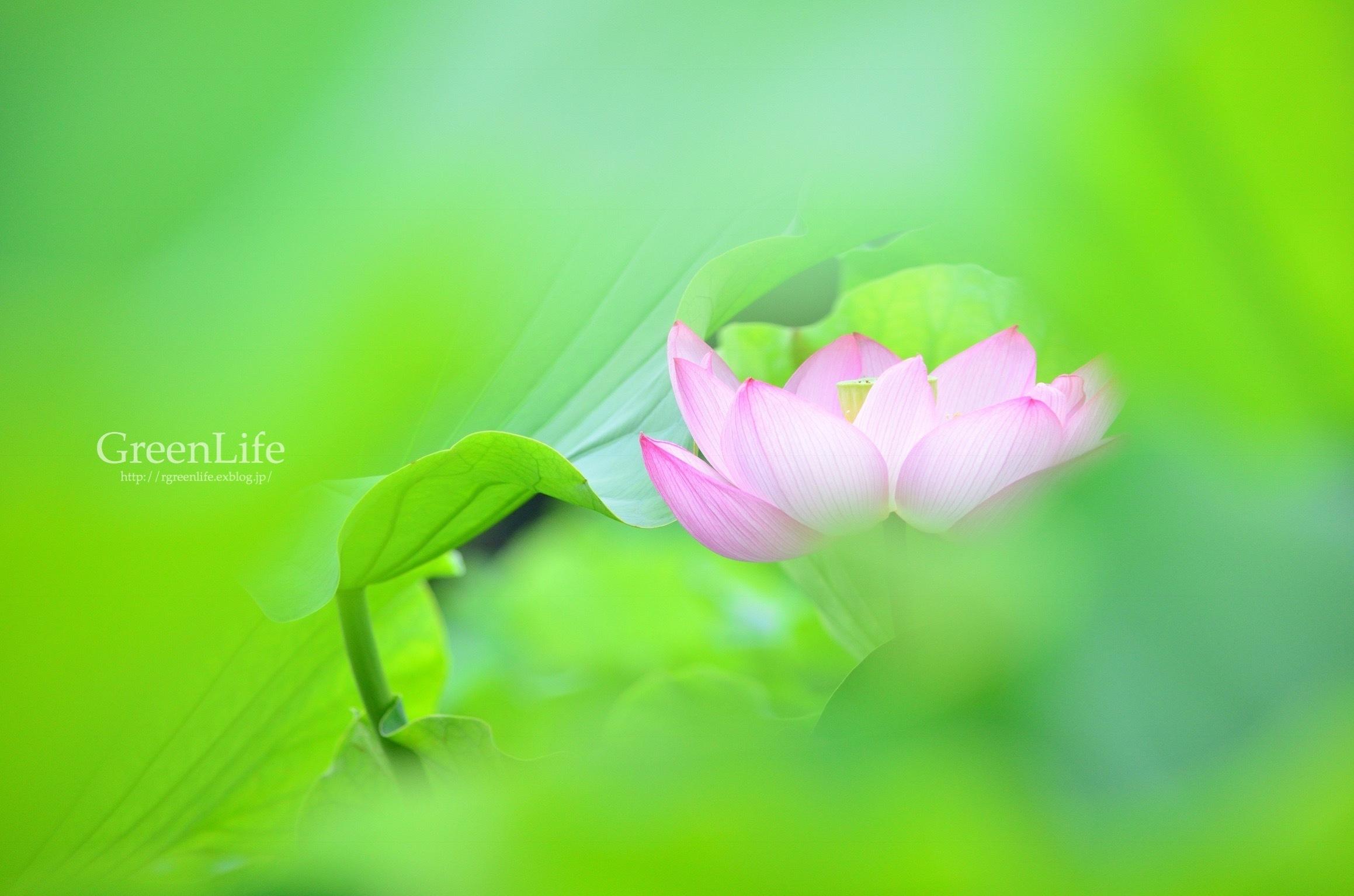 透ける花びら_f0321522_21201969.jpg