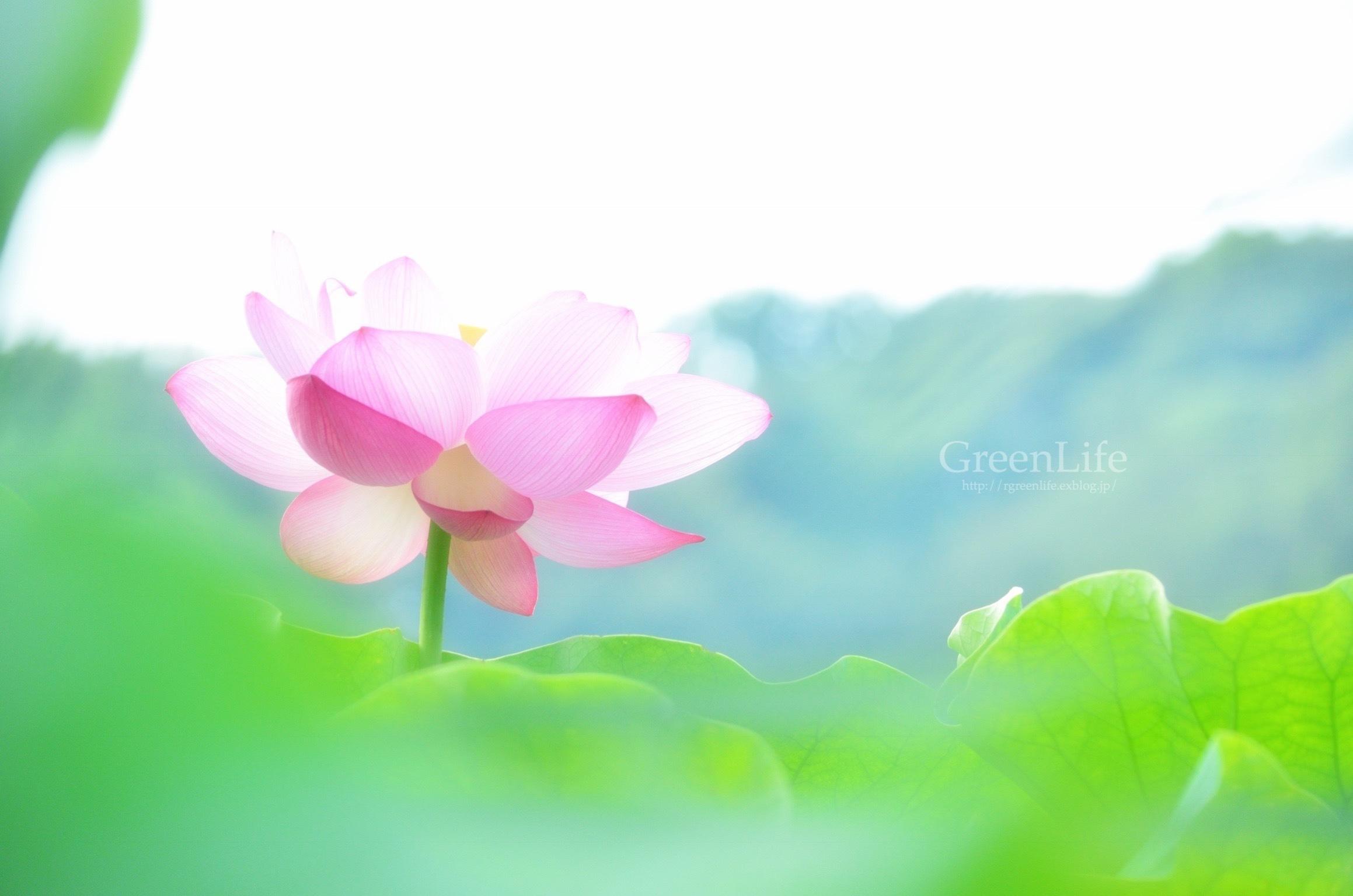 透ける花びら_f0321522_21202765.jpg
