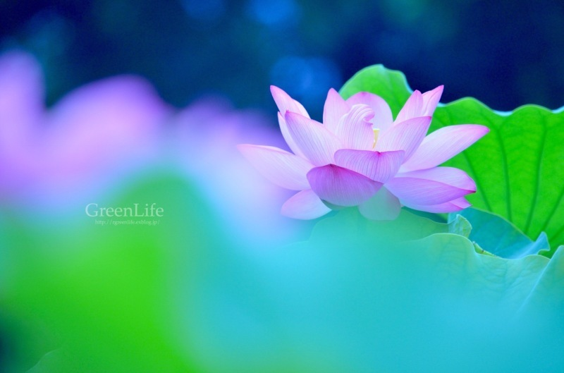 透ける花びら_f0321522_21203388.jpg