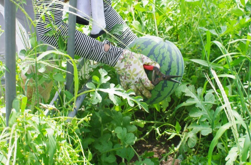 スイカ収穫祭_c0110869_13511298.jpg