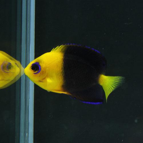 スコリミア&海水魚アップしました!_d0221436_05939.jpg